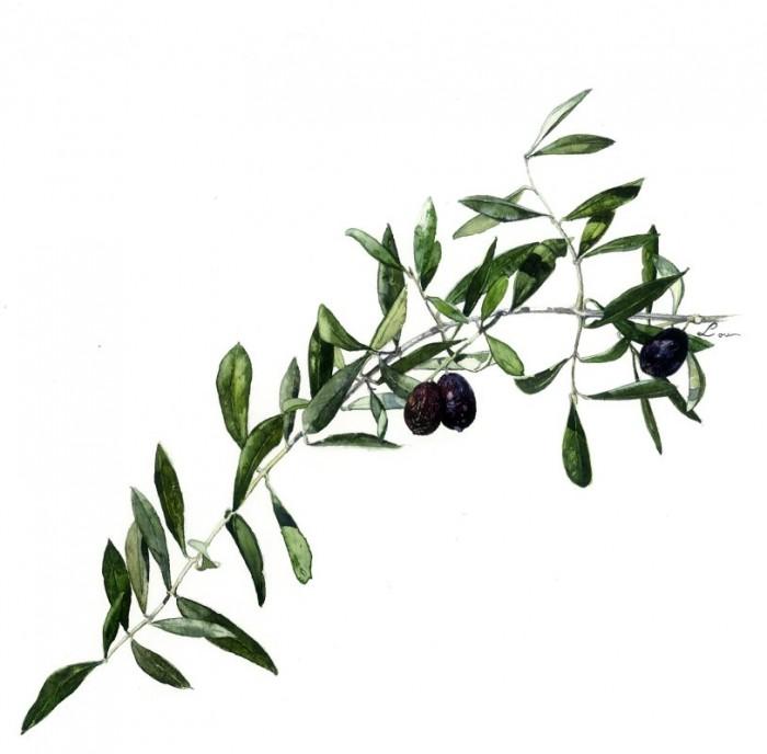 Le rameau d'olivier, symbole antique
