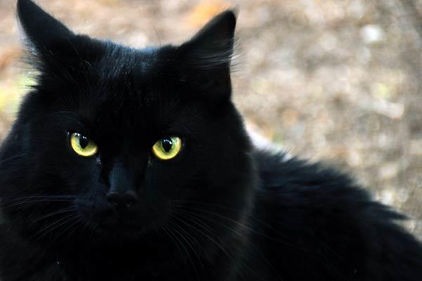 Le chat noir a toujours symbolisé la maléfique sorcière