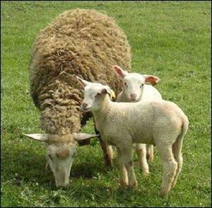 L'Imbolc, fête de la fécondité des ovins