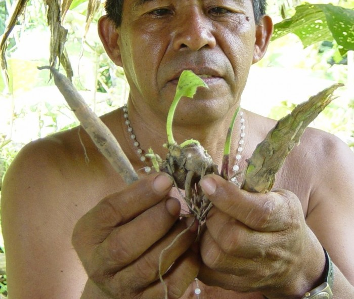 Le chamane des forêts tropicales développe une connaissance approfondie des plantes