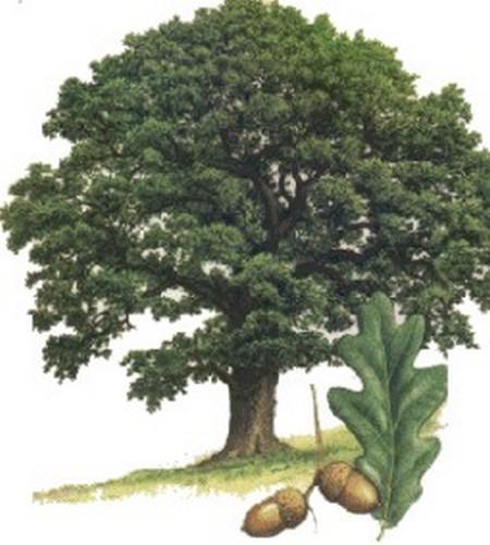 Le chêne sacré est un arbre qui remonte à l'Antiquité