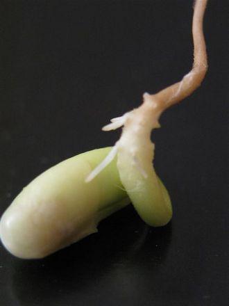 C'est dans la graine végétale que l'ésotérisme a trouvée l'explication du périsprit